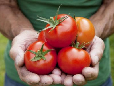 Pragas e preços baixos desanimam  produtores de tomate no interior