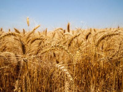Abitrigo pede ao governo isenção da  tarifa de importação até o fim de 2020