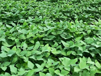 Tribunal manda apreender colheita experimental de soja