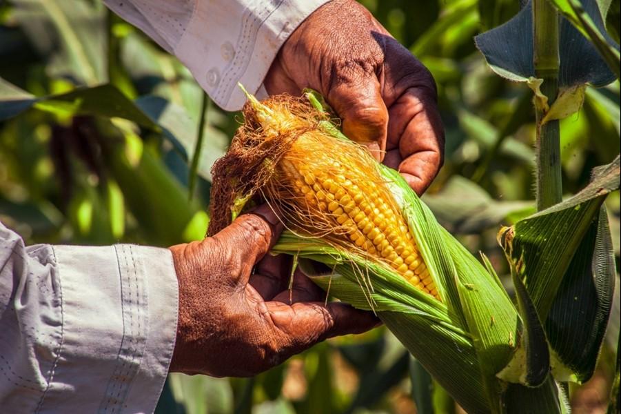 Tecnologia do agronegócio de SP garante variedades de milho de alta qualidade