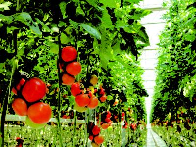 Pesquisadores fazem estudo genético do tomate e avaliam mais de 200 mil mutações