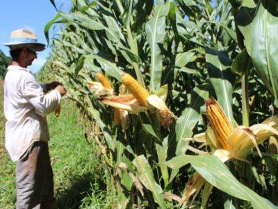 Mudanças climáticas podem afetar a segunda safra de milho