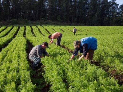 Com Covid-19, população ocupada na agropecuária fica inferior a 8 milhões, aponta Cepea