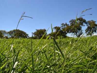 Escolher o capim ideal pode aumentar em R$ 400 o resultado por hectare
