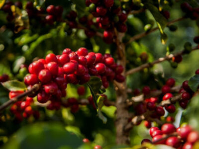 Tecnologia de origem natural pode minimizar efeitos climáticos nos cafezais