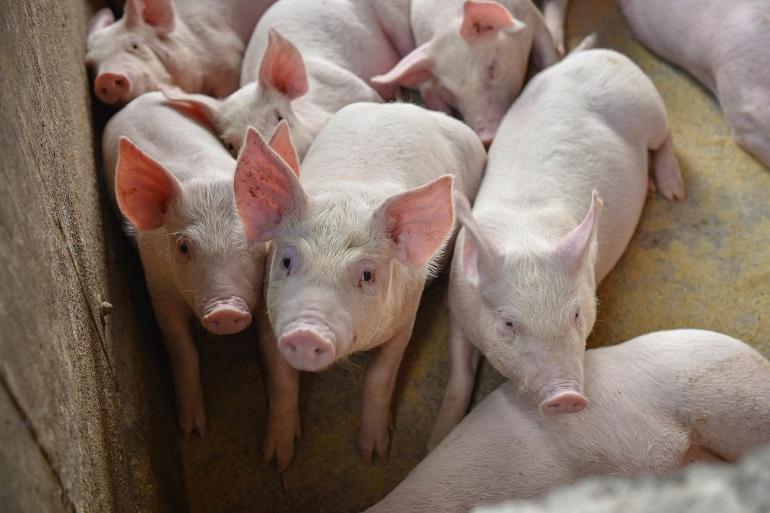 Custos de produção de suínos sobem 15% em outubro