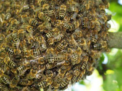 Idoso de 68 anos morre após ser  atacado por abelhas em Bressane
