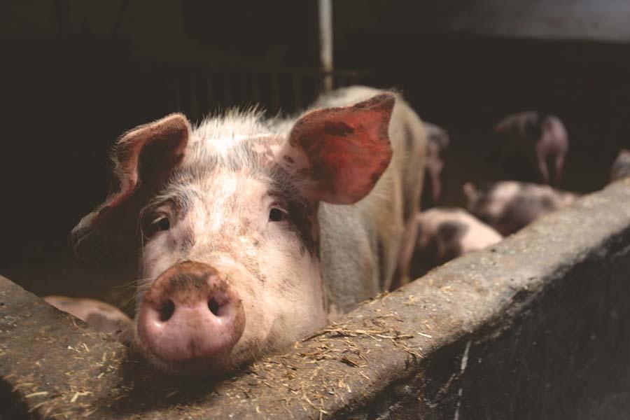Carne de porco e frango devem  aumentar de preço para o consumidor