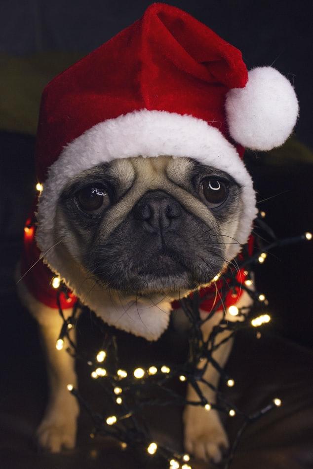 Cuidados especiais com os cães nas festas de fim de ano