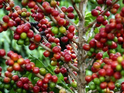 Exportação de café cresce 32% em novembro