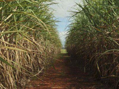 Produção da safra atual de cana de  açúcar deve crescer 3,5%, diz Conab