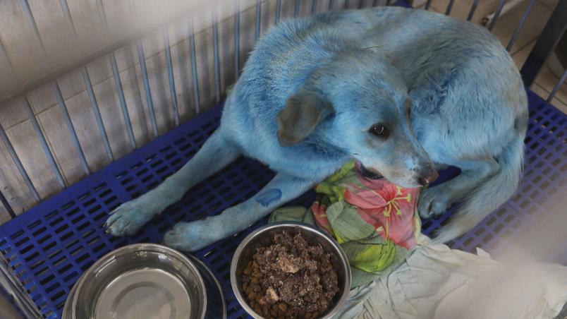 Cachorros azuis' são resgatados perto de fábrica na Rússia